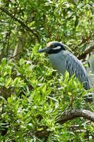 Yellow-crowned Night Heron photo