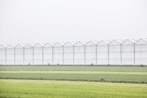 grey heron in dutch meadow with greenhouses photo