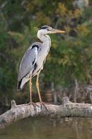 Garza gris adulta esperando peces de una rama