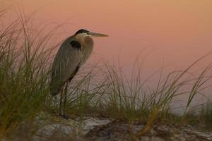 Great blue heron against sunset