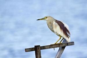 Indian pond heron in Batticaloa, Sri Lanka photo