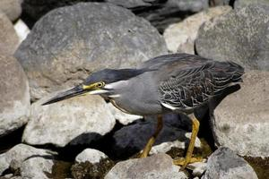 Butorides striatus, Greenback Heron