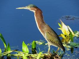 Green Heron (Butorides virescens) photo