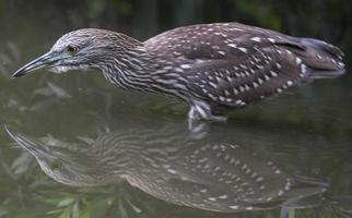 Black-Crowned Night Heron (Nycticorax nycticorax) photo
