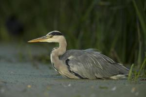Grey Heron - Ardeidae