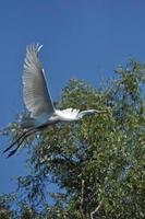 White egret, heron in the Danube delta