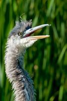 Great Blue Heron photo