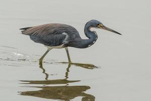Tricolor heron on the hunt