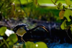 Tricolored Heron photo