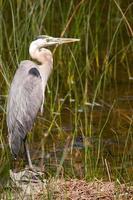 Minnesota Blue Heron
