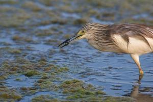 squacco heron photo