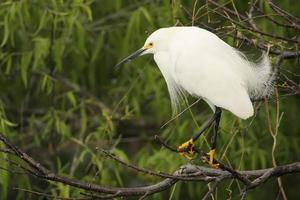 Snowy Egret (Egretta thula) photo