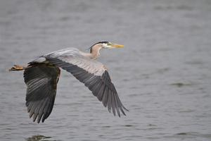 Great Blue Heron flying over the James River