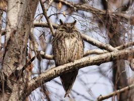 Long-eared Owl (Asio otus) photo