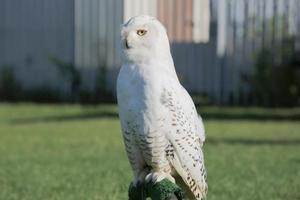 Snowy Owl stretching neck. photo