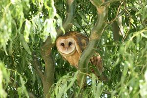 Barn Owl Roosting in Tree