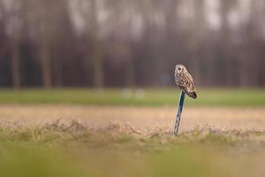 Short-eared owl (Asio flammeus) photo
