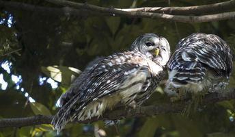 Owls cuddling photo