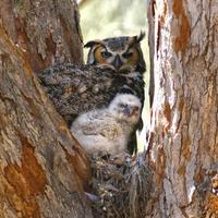 Great Horned Owl with baby owlet. photo