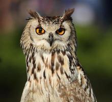 Eagle-owl. photo