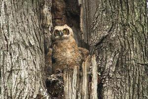 lindo bebé búho cornudo en árbol viejo foto