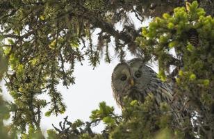Ural owl, Strix uralensis photo