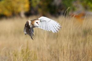 Barn owl in flight photo