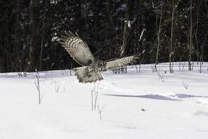 Great Grey Owl in flight photo