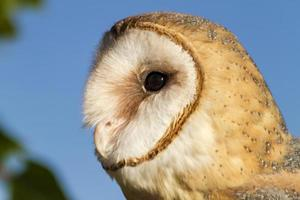 Common Barn Owl in Autumn Setting photo