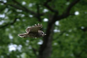 Barred owl gliding photo
