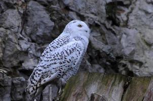 Snowy Owl at Dusk photo