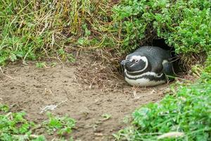 pingüino tumbado en la madriguera foto
