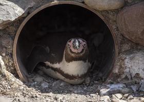 pingüino en pipa foto