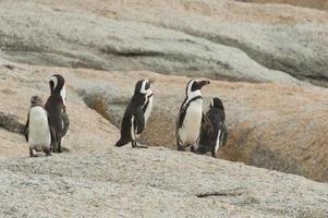 pingüinos burros foto