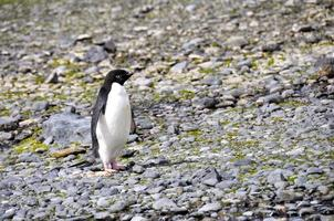 The standalone Adelie penguin