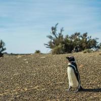 Penguin in patagonia photo