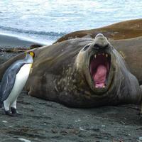 Elephant seal on Macquarie Island, Tasmania