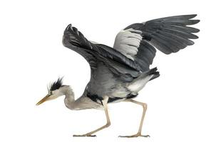 Grey Heron doing a mating dance, 5 years old photo