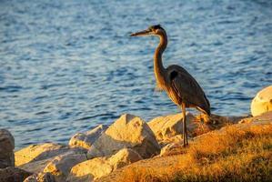 Great Blue Heron at sunset photo