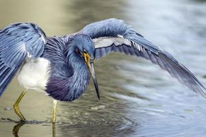 Tricolored Heron Canopy Feeding
