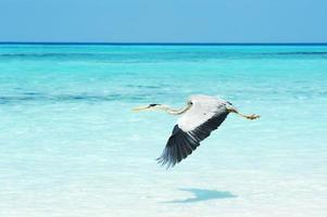 heron flying over sea photo