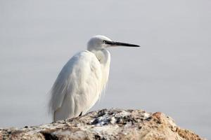 Little white Egret on a stone