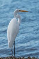 white heron photo