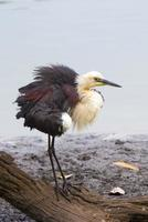 White-necked Heron ruffling its feathers at Hasties Swamp, QLD, Australia photo