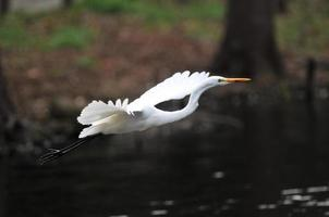 Intermediate Egret of Japan