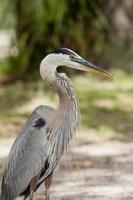 Close up profile of heron.