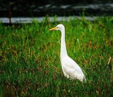 White heron, India