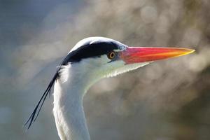 Grey Heron / Ardea cinerea photo
