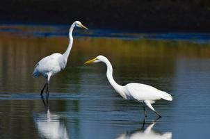 Great Egrets Hunting for Fish in Autumn