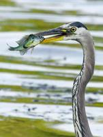 Great Blue Heron catches a Bluegill. photo